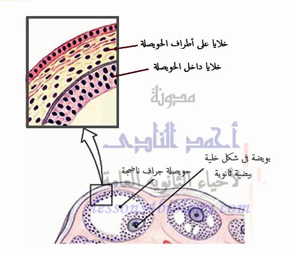الدورة الشهرية - الطمث - دورة التزاوج - مرحلة نضج البويضة - حويصلة جراف - الإستروجين