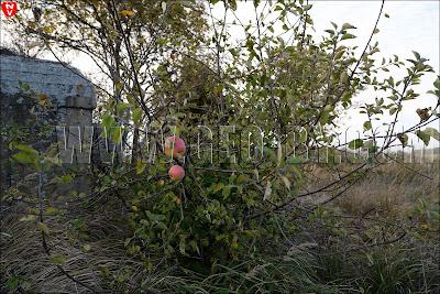 Яблоня рядом с бункером