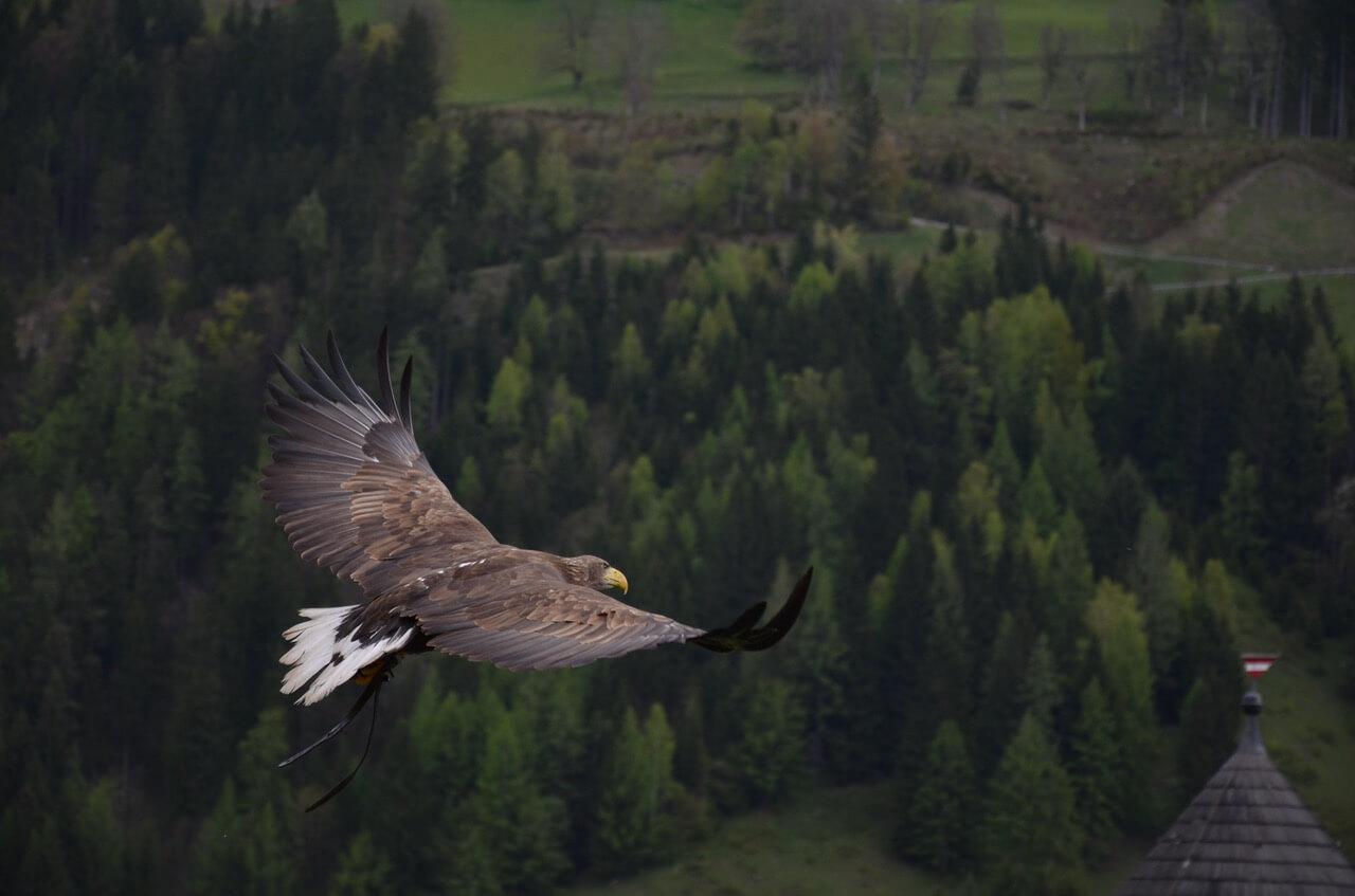 hawk, legend,