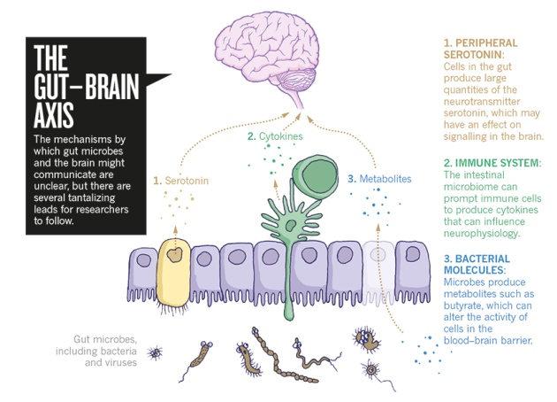 Brain Development Influenced By Immune >> The Tantalizing Links Between Gut Microbes And The Brain مدونة