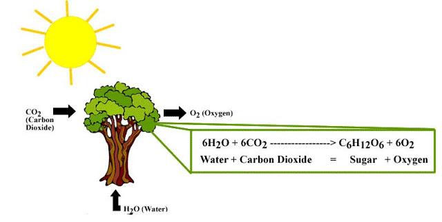 Proses Terjadinya Fotosintesis Pada Tumbuhan Hijau