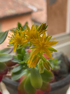 Sedum palmeri flower.