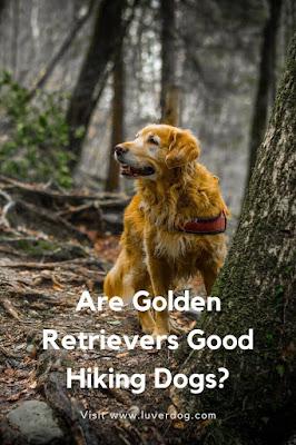 Are Golden Retrievers Good Hiking Dogs?