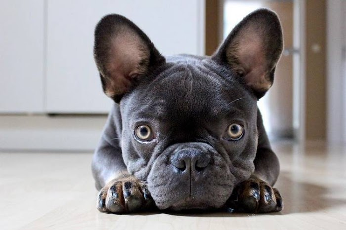 All About French Bulldog Dog Breed