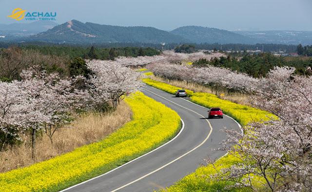 Những địa điểm thưởng ngoạn hoa xuân khi du lịch Hàn Quốc3