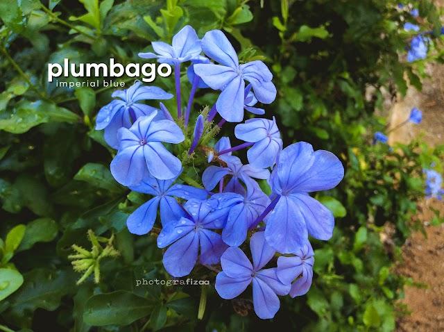Bunga Plumbago Imperial Blue