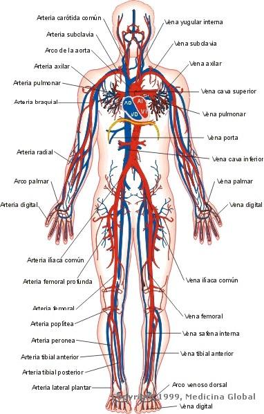arterias y venas de todo el cuerpo humano