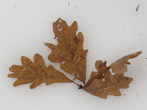 oak leaves on snow