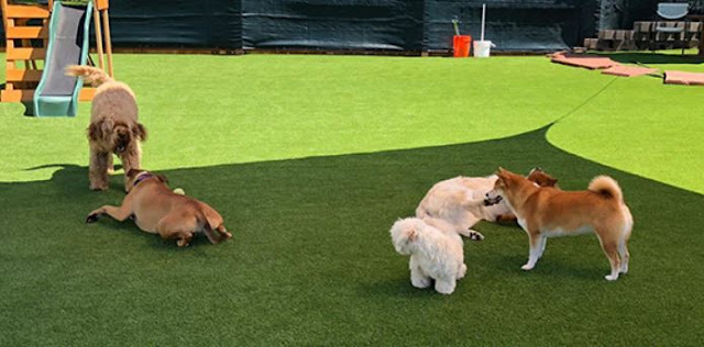 reasons consider dog daycare pooch sitting dogs pet walking