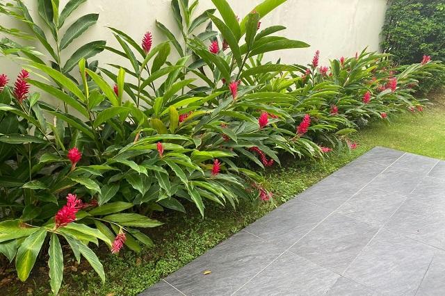 gambar tanaman jahe merah
