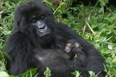 uganda gorilla trekking, gorilla trekking in uganda