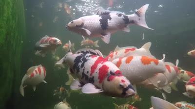 Ikan Koi