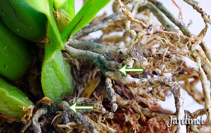 como plantar orquideas em arvores dicas de como plantar orqudea em