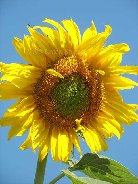 Dylan's Sunflower Photo
