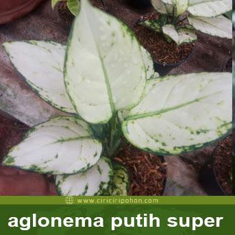 ciri ciri pohon aglonema putih super