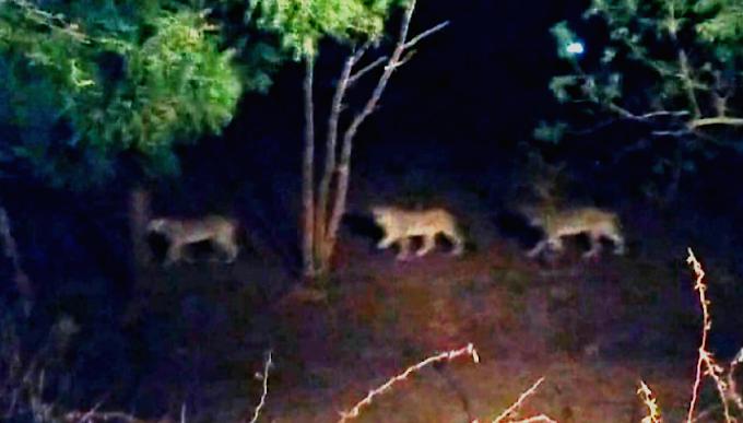 शेरों की बीच जन्मी बच्ची, जन्म के तुरंतबाद चले गए शेर, newshank.com
