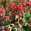 Roses losing the battle with Rose Rosette Disease