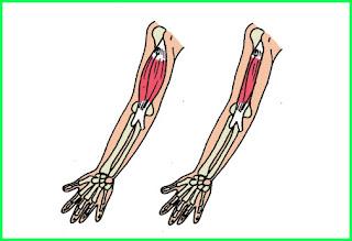 materi pelajaran kelas 5 sd tema 1 subtema 3 kelainan otot manusia