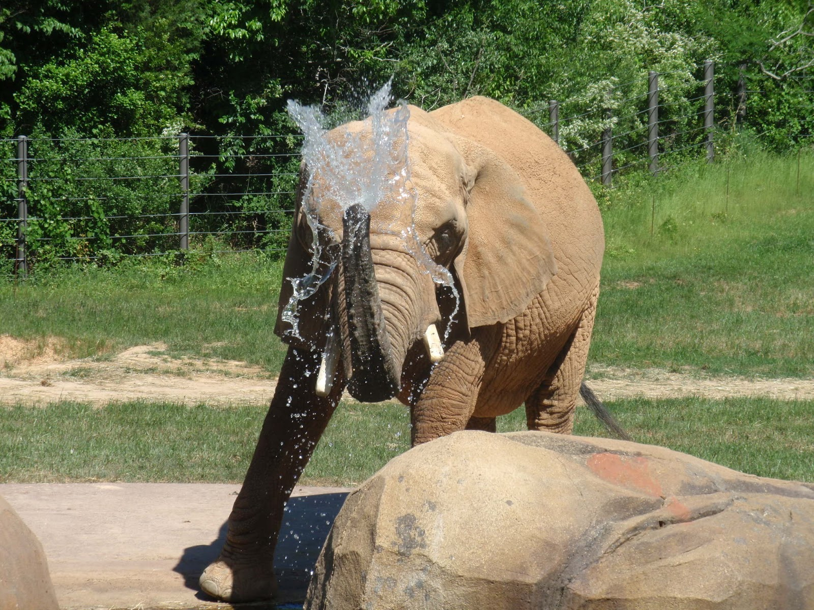 An elephant spraying water with it's trunk.