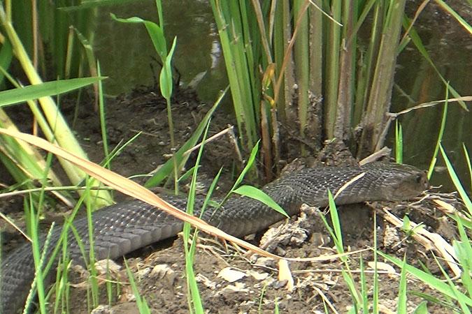 Dlium Indonesian cobra (Naja sputatrix)