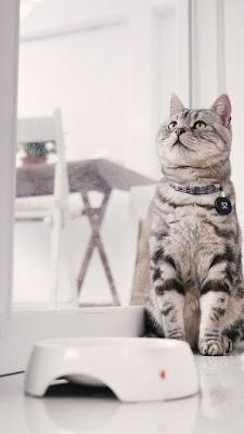 القط الامريكي ذو الشعر القصير : American Shorthair