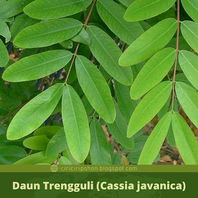 Ciri Ciri Daun Trengguli (Cassia javanica)