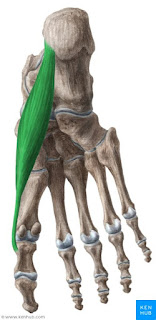 abductor hallucis muscle, anatomy, muscle picture