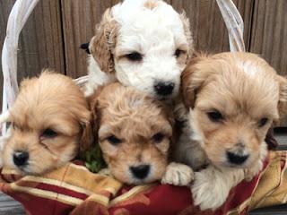 ¿Buscando cachorros de Havanese en venta?