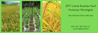 pupuk susulan cabe musim hujan, bambu ijo, pupuk organik cair, pemupukan cabe, jual pupuk, toko pertanian, toko online, lmga agro