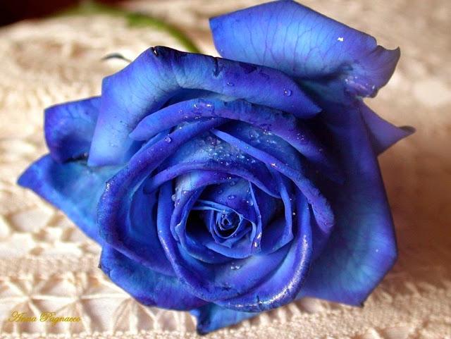 Sự thật về hoa hồng xanh, hoa hồng 7 màu