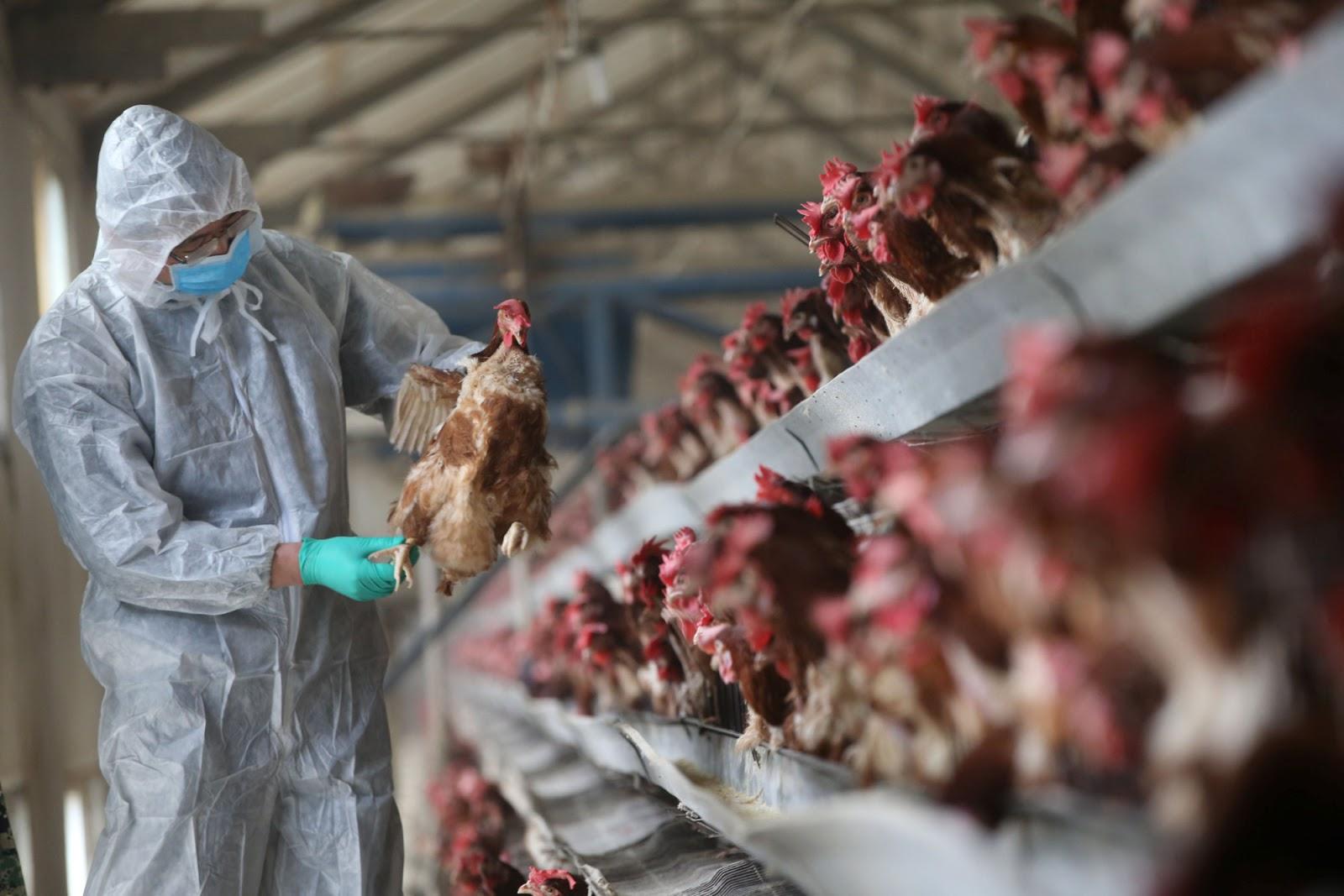7 Tanda Tanda Anda Diserang Virus Selsema Burung H5N1.