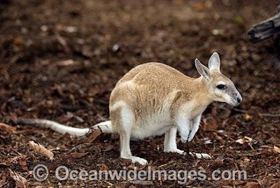 Wallaby norteño cola de uña (Onychogalea unguifera)