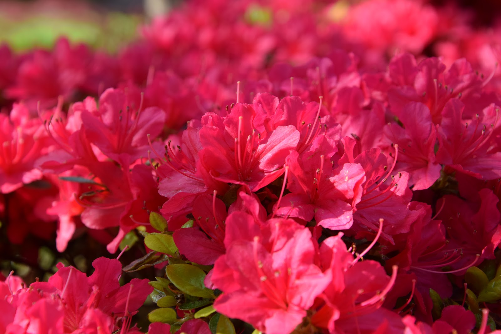 kwiaty Holandia