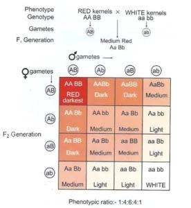 Graphical representation of polygenic inheritance