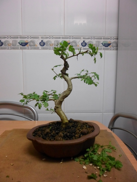 crataegus bonsai