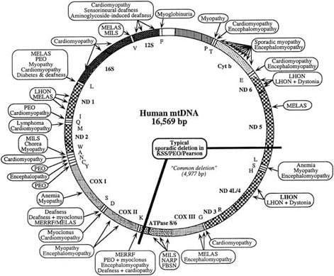 Doenças Mitocondriais: O que são as doenças mitocondriais?