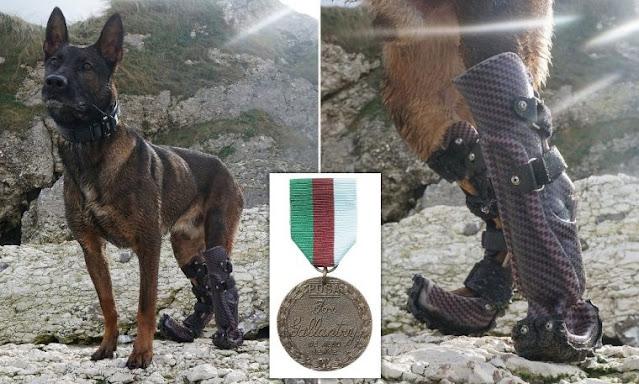 Четырехлетняя овчарка с протезами вместо лап будет награждена самой высокой воинской наградой Англии