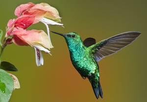 burung kolibri atau burung madu