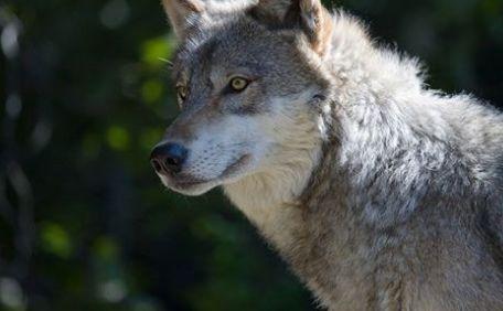 Όταν ο λύκος περνούσε…Του Στέφανου Σταμέλλου