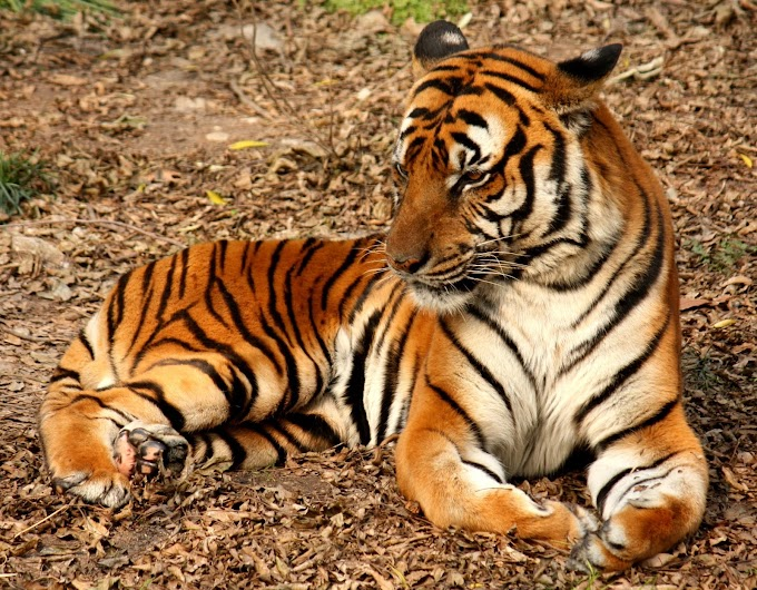 The Tiger Paragraph, Short Essay on Tiger in English for Kids