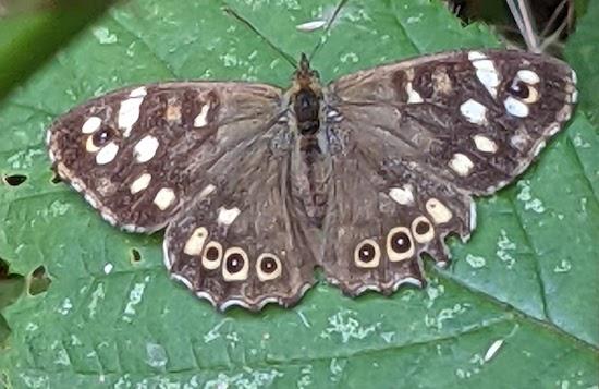 Speckled Wood butterfly alongside Langley footpath 13