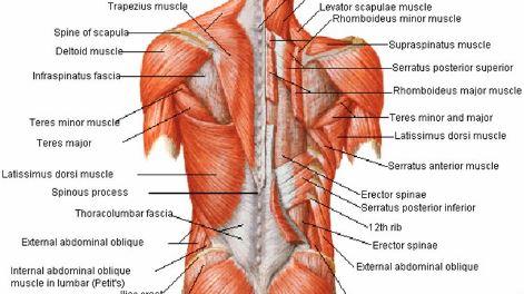 Anatomi Fasia Torakolumbalis: Perlekatan Dan Fungsi