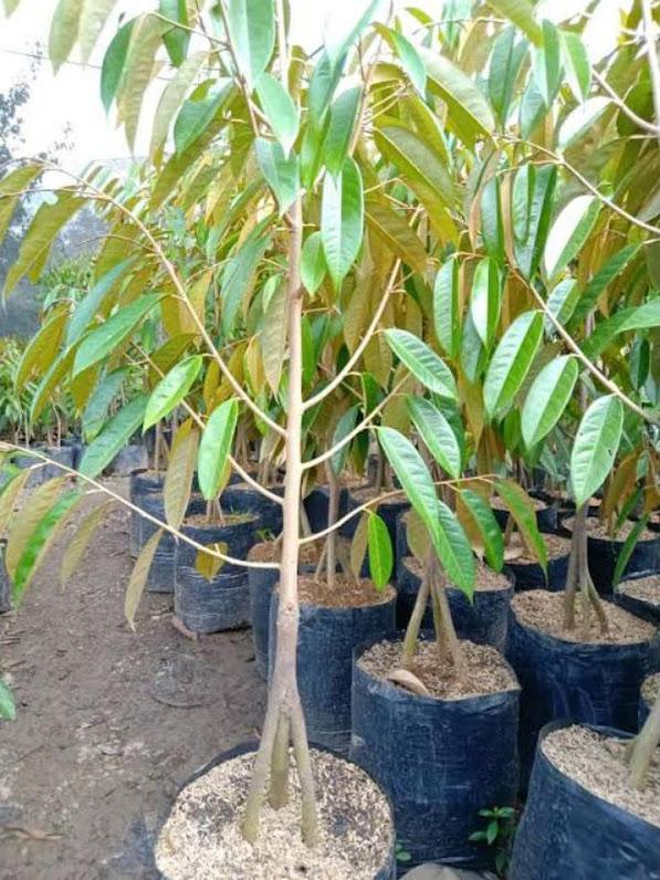 Bibit durian bawor siap berbuah Tangerang