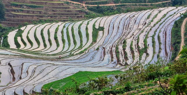 Rice is grown on terraces in Sapa 2