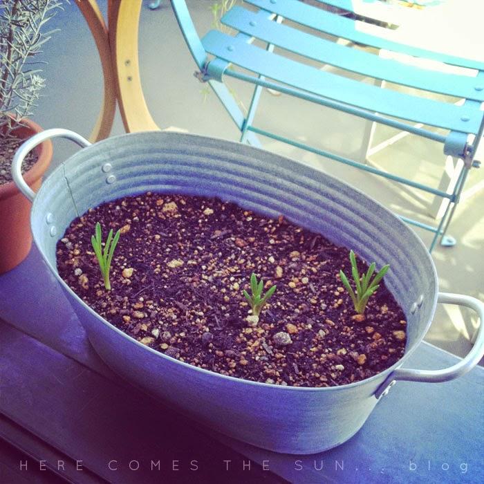 アンティーク風のブリキバケツに植えたムスカリの芽が出た