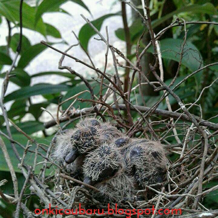 Cara Merawat Piyik Burung Perkutut Liar On Kicau Baru Okb