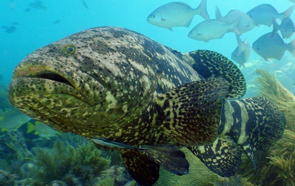 Cá mú khổng lồ tại S.E.A Aquarium