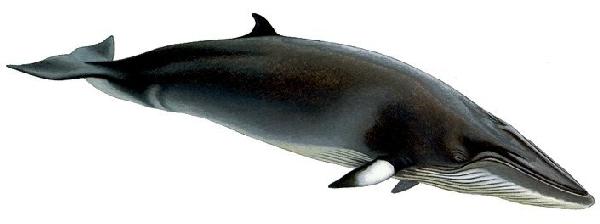 Baleia-Minke (Balaenoptera acutorostrata)