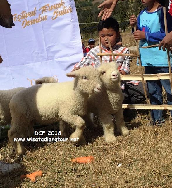 Foto DCF Kawan Kurnia Dieng Tour Festival Domba Gimbal