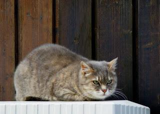 Pisica de oras